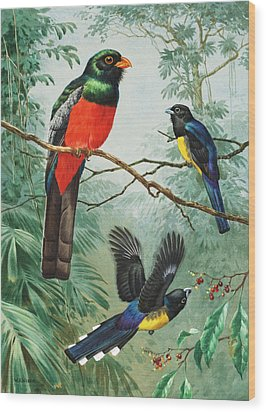 Perched And Flying Trogons Are Seen Wood Print by Walter A. Weber