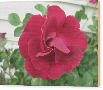 Perfect Red Rose Wood Print by Judy Via-Wolff