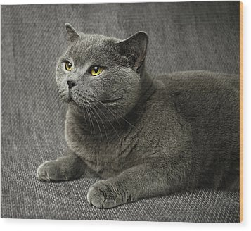Pet Portrait Of British Shorthair Cat Wood Print by Nancy Branston