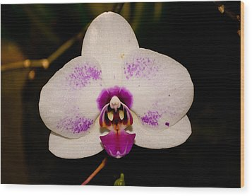 Phalaenopsis White Orchid Wood Print by Tikvah's Hope