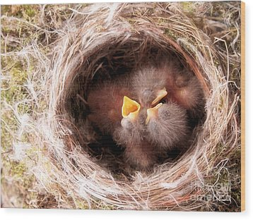 Phoebe Babies In Nest Wood Print by Angie Rea
