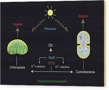 Photosynthesis, Artwork Wood Print by Francis Leroy, Biocosmos