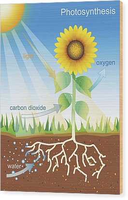 Photosynthesis, Illustration Wood Print by David Nicholls