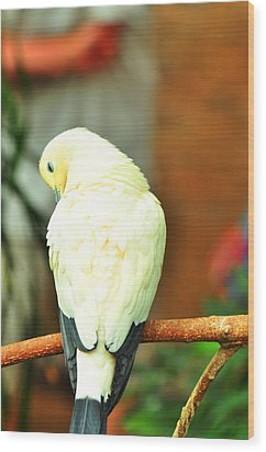 Wood Print featuring the photograph Pied Imperial Pigeon by Puzzles Shum