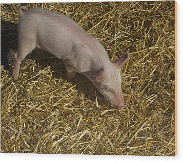 Pig. Yummy Roasted Wood Print by Michael Clarke JP