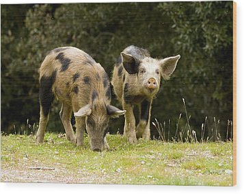 Piglets Foraging In Woodland Wood Print by Bob Gibbons