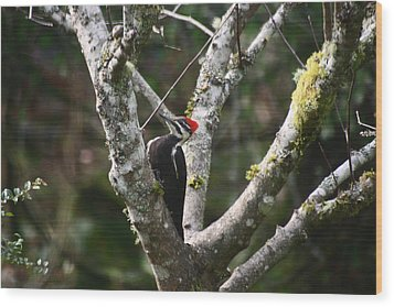 Pileated Woodpecker In Cherry Tree Wood Print by Kym Backland