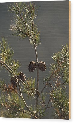 Pine Cones At The Top Of A Small Pine Wood Print by Raymond Gehman