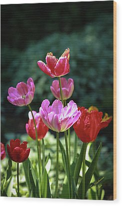 Pink And Red Tulips Wood Print by Tom Buchanan