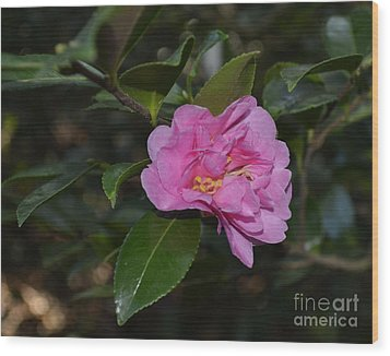Pink Camellia Flower Wood Print by Eva Thomas