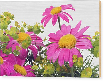 Wood Print featuring the photograph Pink Camomiles Macro by Aleksandr Volkov
