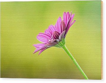Pink Chrysanthemum On Yellow Background Wood Print by Hegde Photos