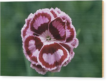 Pink (dianthus 'becky Robinson') Wood Print by Archie Young