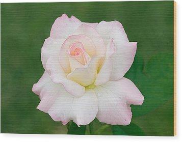 Pink Edge White Rose Wood Print by Atiketta Sangasaeng