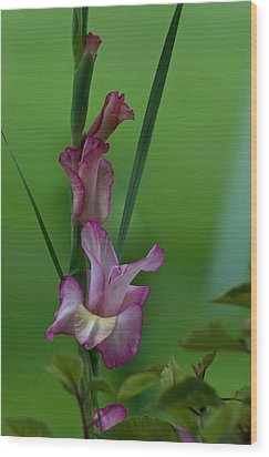 Wood Print featuring the photograph Pink Gladiolus by Ed Gleichman