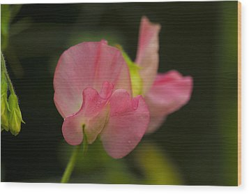 Wood Print featuring the photograph Pink Lady by Rob Hemphill