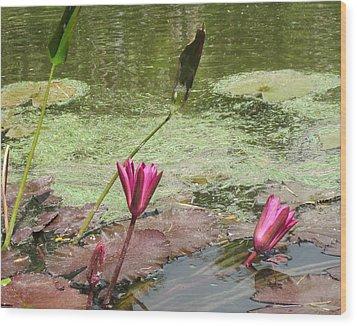 Pink Lilly Pond Wood Print by Rosie Brown