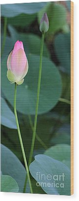 Pink Lotus Buds Wood Print by Sabrina L Ryan