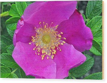 Pink Portulaca Wood Print by Tikvah's Hope