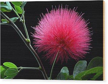 Pink Powder Puff Flower Wood Print