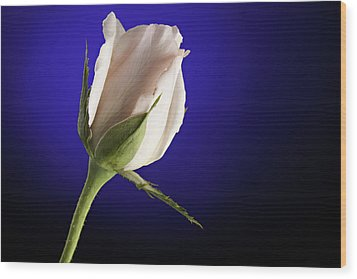 Pink Rose Bud Blue Background Wood Print by M K  Miller