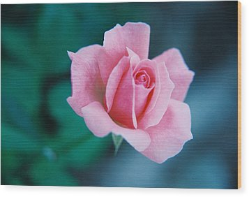 Wood Print featuring the photograph Pink Rose by David Wohlfeil