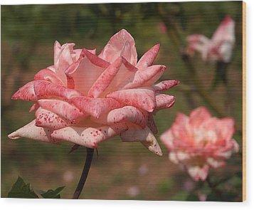Pink Rose Flowers 1 Wood Print by Johnson Moya
