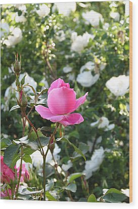 Pink Rose  Wood Print by Rebecca Overton