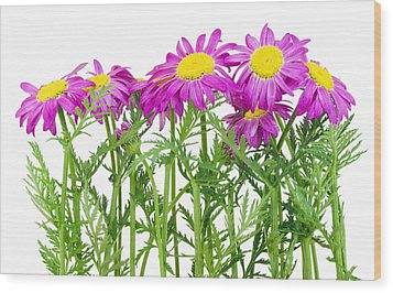 Pink Spring Daisies Border Wood Print by Aleksandr Volkov