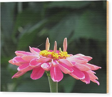Pink  Taffy Wood Print