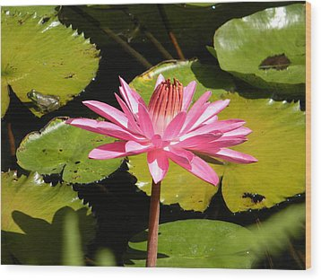 Pink Water Lilly With Frog Wood Print