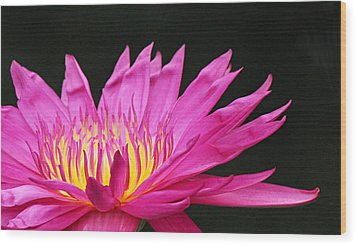 Pink Water Lily Wood Print by Becky Lodes