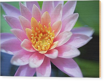 Pink Water Lily Wood Print by Kicka Witte