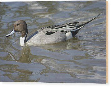 Pintail Duck Wood Print by Marilyn Wilson