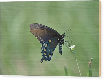 Pipevine Swallowtail Nectaring Wood Print by Kathy Gibbons