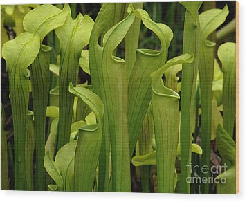 Pitcher Plants Wood Print by Bob Christopher