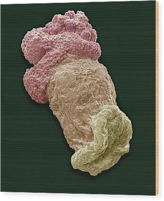 Planktonic Polyp, Sem Wood Print by Steve Gschmeissner
