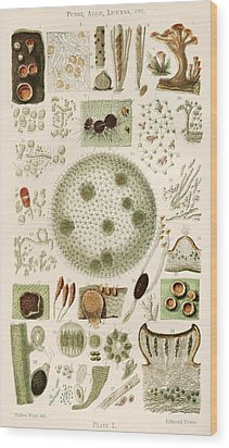 Plant And Fungi Microscopy, 19th Century Wood Print by