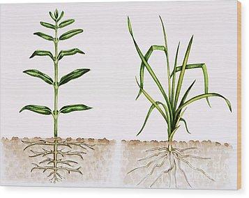 Plant Comparison Wood Print by Lizzie Harper