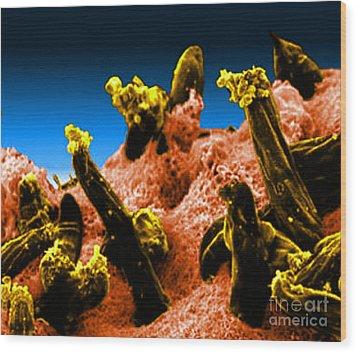 Plasmodium Gallinaceum, Sem Wood Print by Science Source