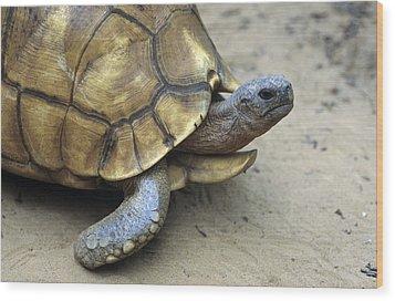 Ploughshare Tortoise Wood Print by Chris Hellier