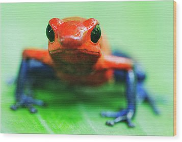 Poison Dart Frog Wood Print by Jeremy Woodhouse
