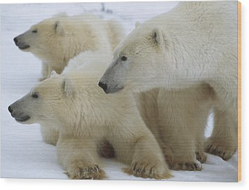 Polar Bear And Two Large Cubs Sniffing Wood Print by Norbert Rosing