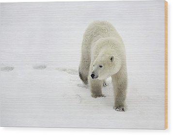 Polar Bear Walking Wood Print by Richard Wear