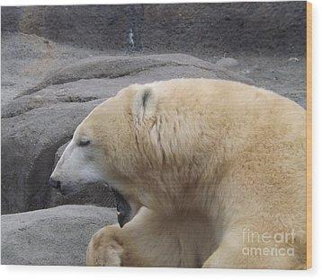 Polar Bear Yawn Wood Print by Sara  Raber