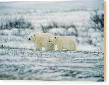 Polar Bears, Churchill, Manitoba Wood Print by Mike Grandmailson