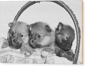 Pomeranian Wood Print by Everet Regal