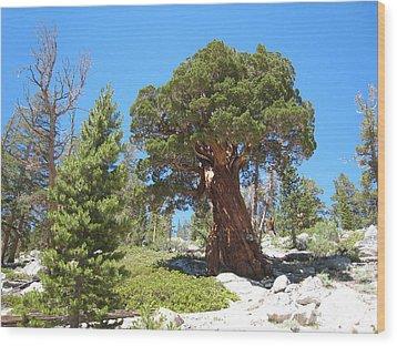 Ponderosa Pine Wood Print by Kirk Williams