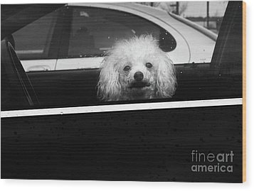 Poodle In A Car Wood Print by Susan Isakson