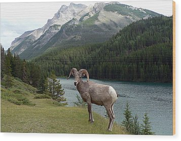 Portrait Of A Bighorn Sheep At Lake Minnewanka  Wood Print